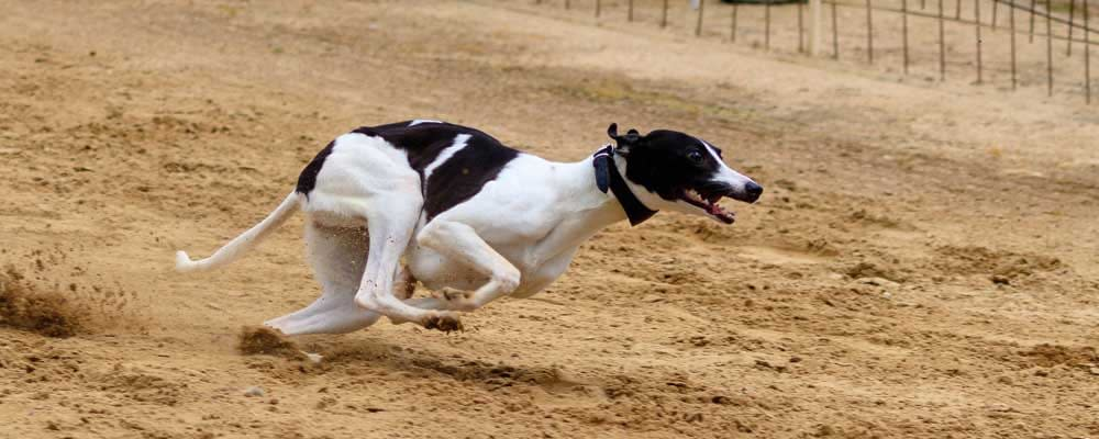 greyhound betting system review